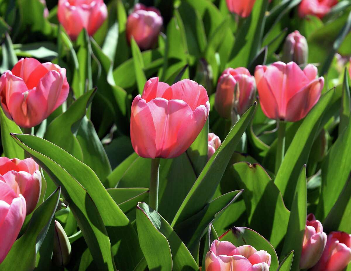 Pink Impression tulips in bloom at Washington Park Wednesday April 20, 2016 in Albany, NY. (John Carl D'Annibale / Times Union)