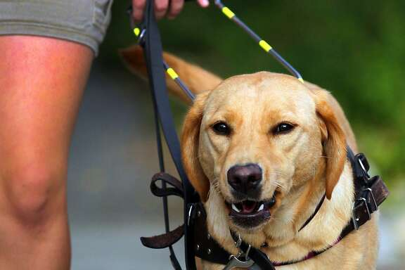 Alice the yellow lab takes a walk with her trainer Natalie Garza in Monte Vista Thursday August 16, 2012. Garza is with Guide Dogs of Texas, a non-profit organization that offers trained guide dogs to visually impaired Texans. John Davenport/© 2012 San Antonio Express-News