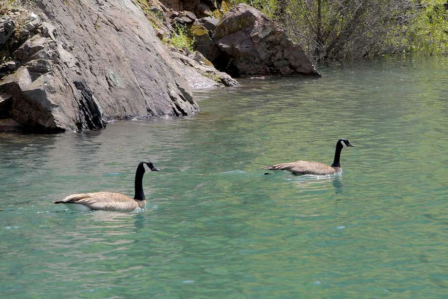 A mated pair of Canada geese on Shasta Lake, likely getting ready to nest and a new a new fleet of goslings to this year's armada. Photo: Tom Stienstra, Tom Stienstra / The Chronicle