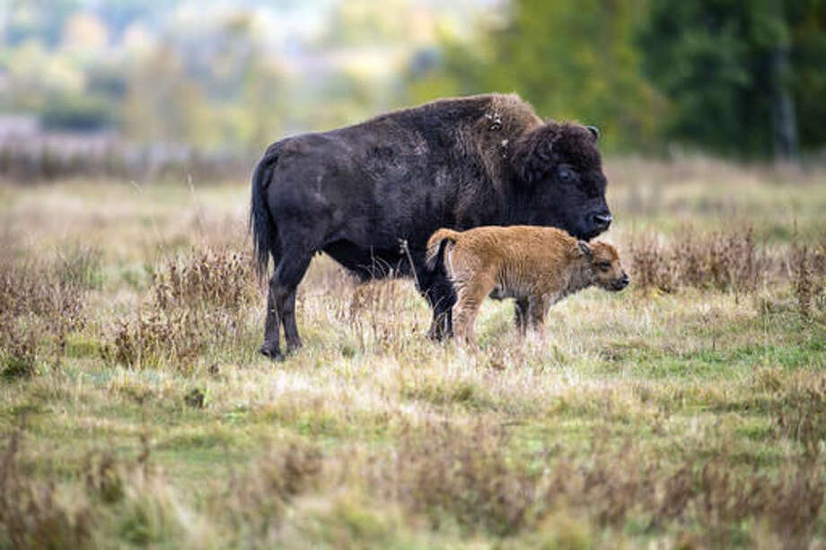 In this undated photo provided by Parks Canada, a bison and it's calf roam in a section of the Elk Island National Park, Canada. Descendants of a bison herd captured and sent to Canada more than 140 years ago will be relocated to a Montana American Indian reservation. (Parks Canada via AP) Photo: HONS