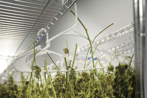 Marijuana flowers hang for curing at Advanced Grow Labs in West Haven, one of Connecticut's four producers of medical cannabis.