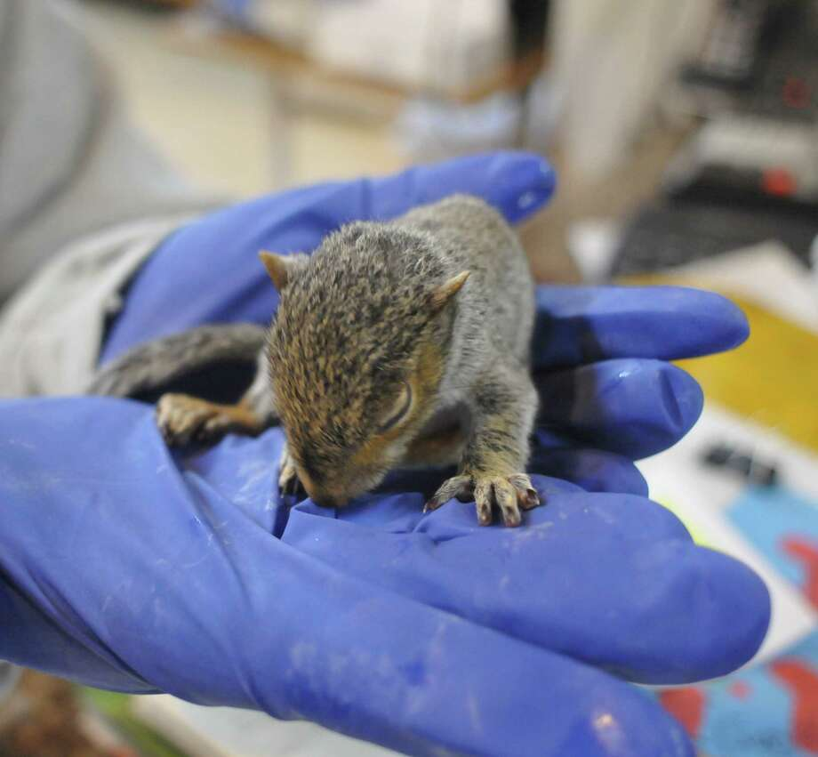 A baby squirrel rescued from a house after solar panels caught fire in Leeds on Monday receives care Wednesday at the  Friends of the Feathered and Furry Wildlife Center in Hunter. (Lance Wheeler / Special to the Times Union)