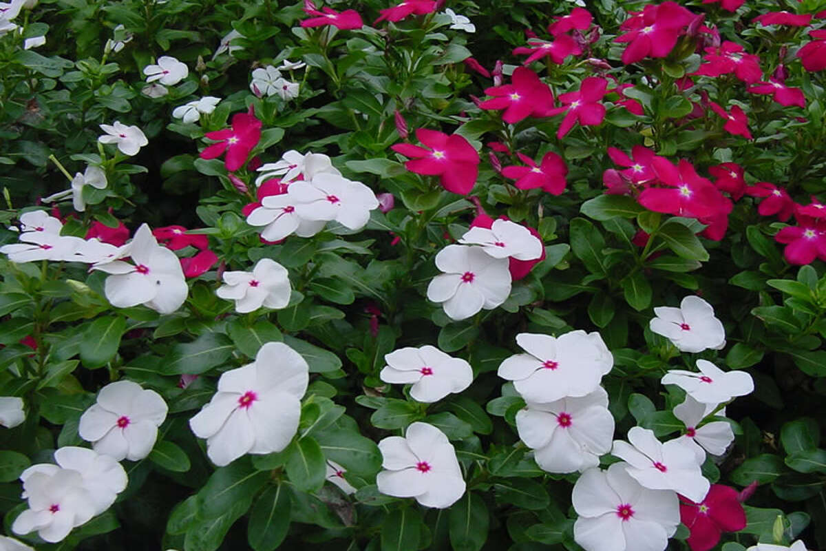 Calvin finch texas superstar plants for your garden expressnews 2of 4cora vinca periwinkle at hollywood park texasphoto courtesy jerry parsons izmirmasajfo