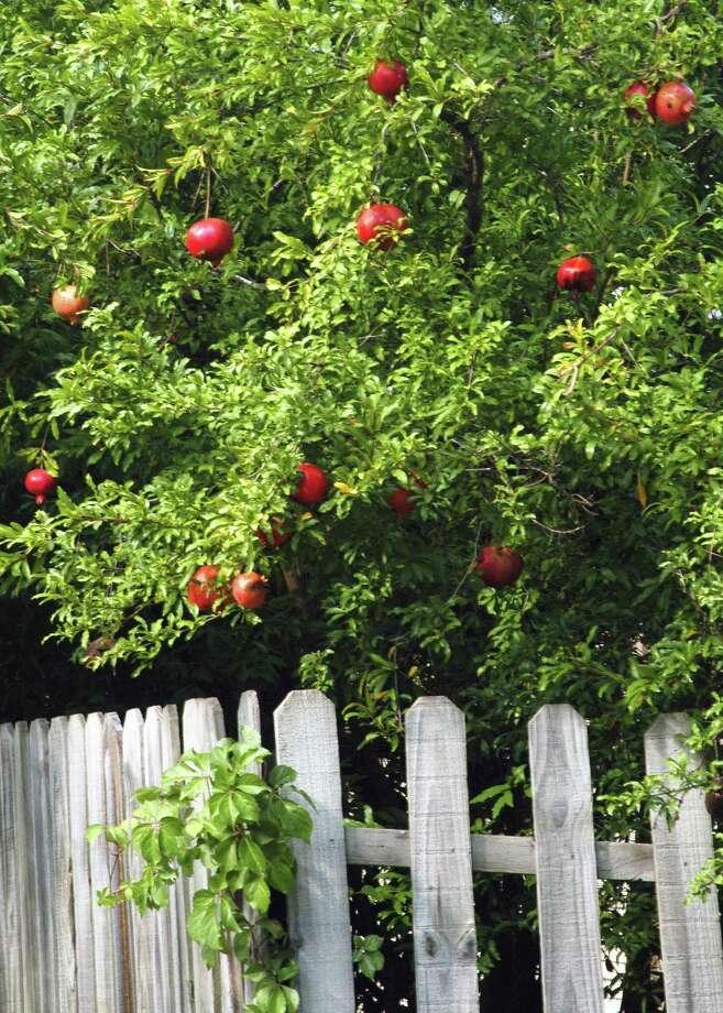 Pomegranates tree in bloom. Photo: Courtesy Photo