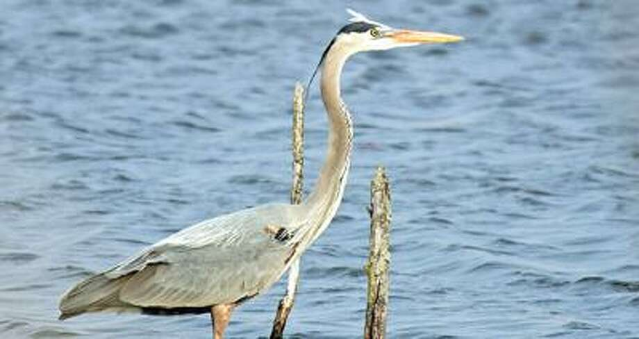 A great blue heron.Bill Diller/For the Tribune