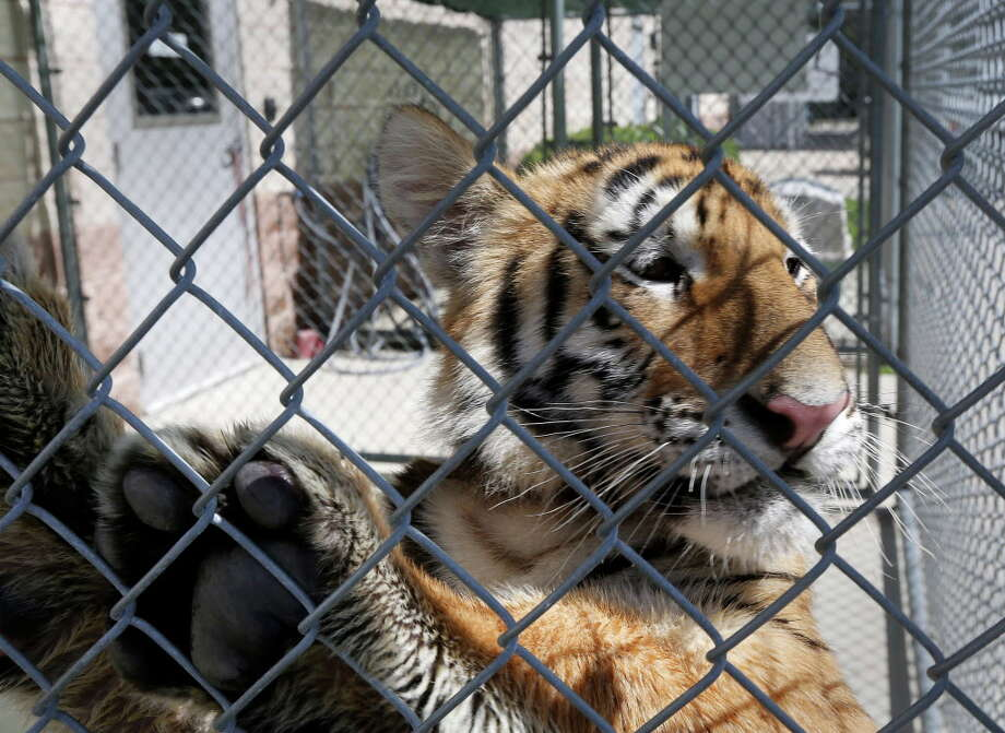 The tiger was housed at the City of Conroe animal shelter. It's not clear where it is now. Photo: Jon Shapley, Houston Chronicle / © 2015  Houston Chronicle