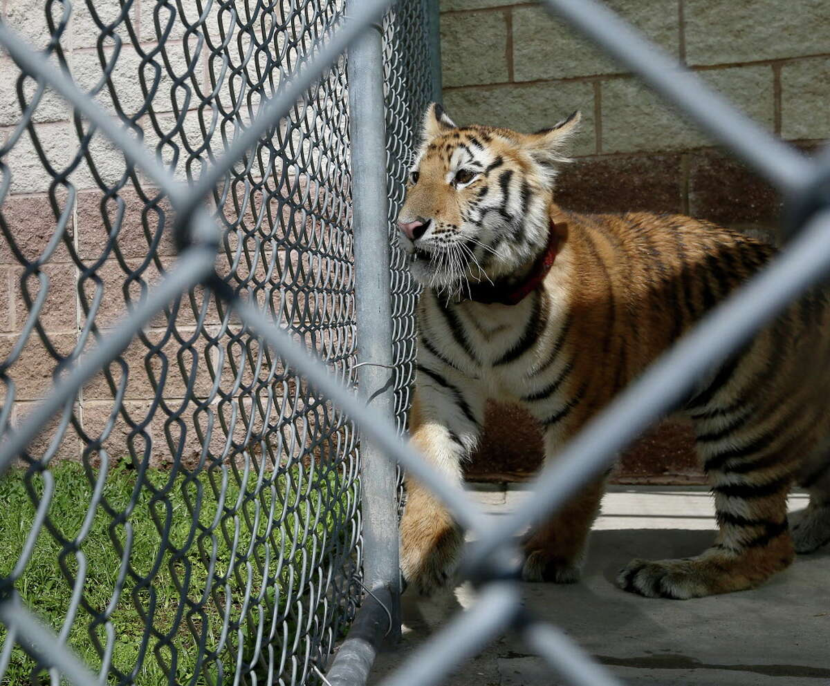 A young female tiger, found around noon in Conroe, is seen at the City of Conroe Animal Shelter Thursday, April 21, 2016, in Conroe. Authorities are looking for its owner, and they suspect it was a pet.