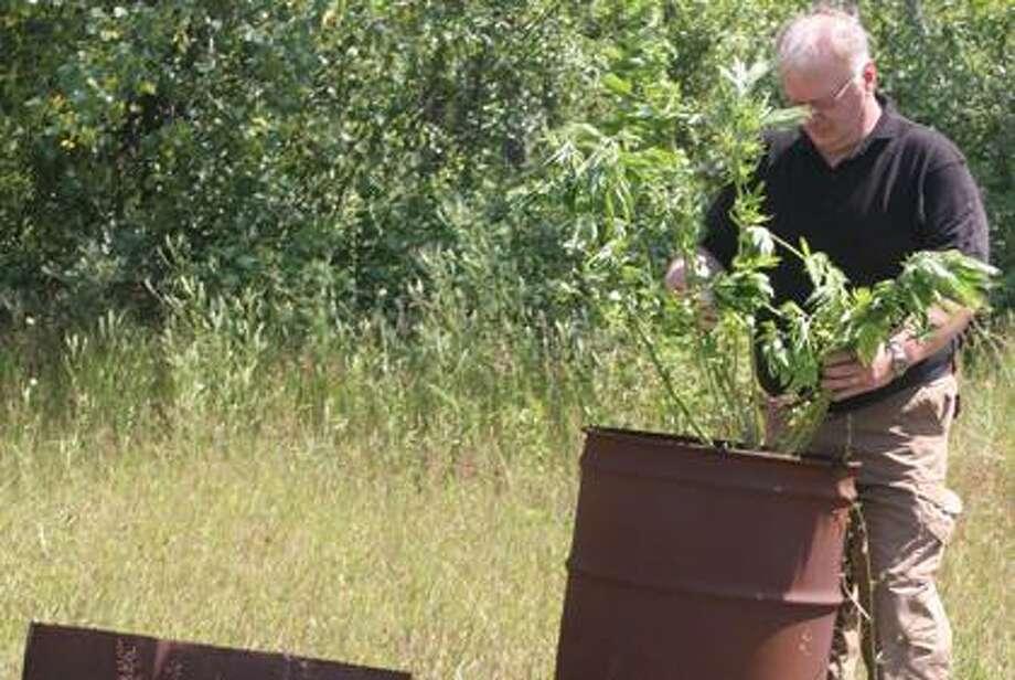 HC Sheriff's Dept. destroys seized marijuana plants.
