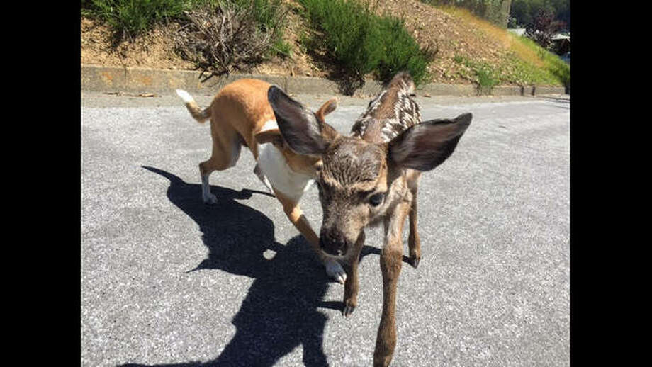 Patti Lee snapped these photos of her rescue dog playing with a young deer in Marin. Photo: Patti Lee