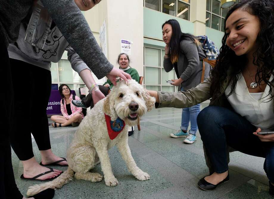 Scotty, 3, a therapy dog helps students at the University at Albany reduce stress as they head in to the final weeks of the semester  Thursday April 21, 2016 in Albany, N.Y. This was part of the Stress Less program put on at the Science Library at the University.   (Skip Dickstein/Times Union) Photo: SKIP DICKSTEIN / 10036248A
