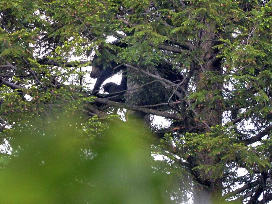 A black bear about 60 feet up in a tree behind 44 Rose Court Tuesday May 27, 2014, in Albany, NY.  Police and officers with the Department of Environmental Conservation estimate the bear weighs about 175 pounds.(John Carl D'Annibale / Times Union) Photo: John Carl D'Annibale / 00027066A