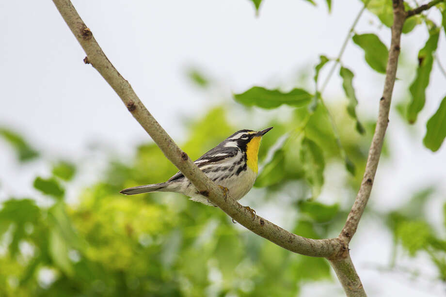Warblers of all varieties, including this yellow-throated warbler, can be found at Quintana Island. Photo: Kathy Adams Clark / Kathy Adams Clark/KAC Productions