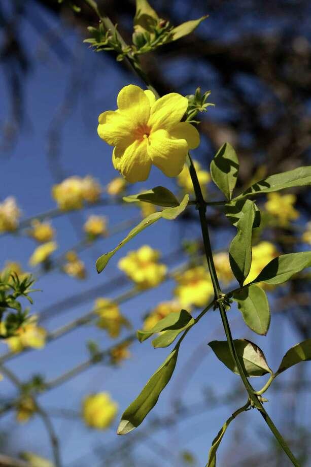 Carolina jessamine cascades with cheery yellow in early spring. Photo: Helen L. Montoya, Staff / ©2013 San Antonio Express-News