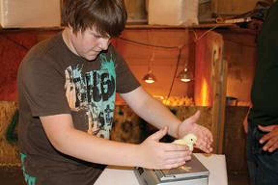 Nick Lay, a freshman at Elkton-Pigeon-Bay Port Laker High School, weighs a chick.