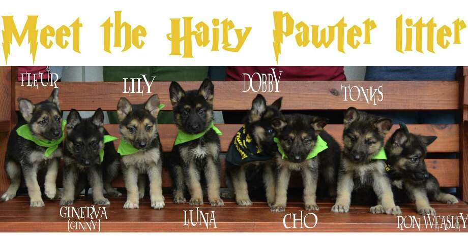 """Eight German Shepherd puppies are currently up for adoption at the Houston Humane Society. The puppies, nearing nine weeks old, are all named after characters from the """"Harry Potter"""" series. Applications are currently being accepted for those that might be interested in taking one of the pups home. They were found during a March 31 welfare seizure at a Santa Fe feed store. They were just eight of 214 animals found onsite. Photo: Houston Humane Society"""