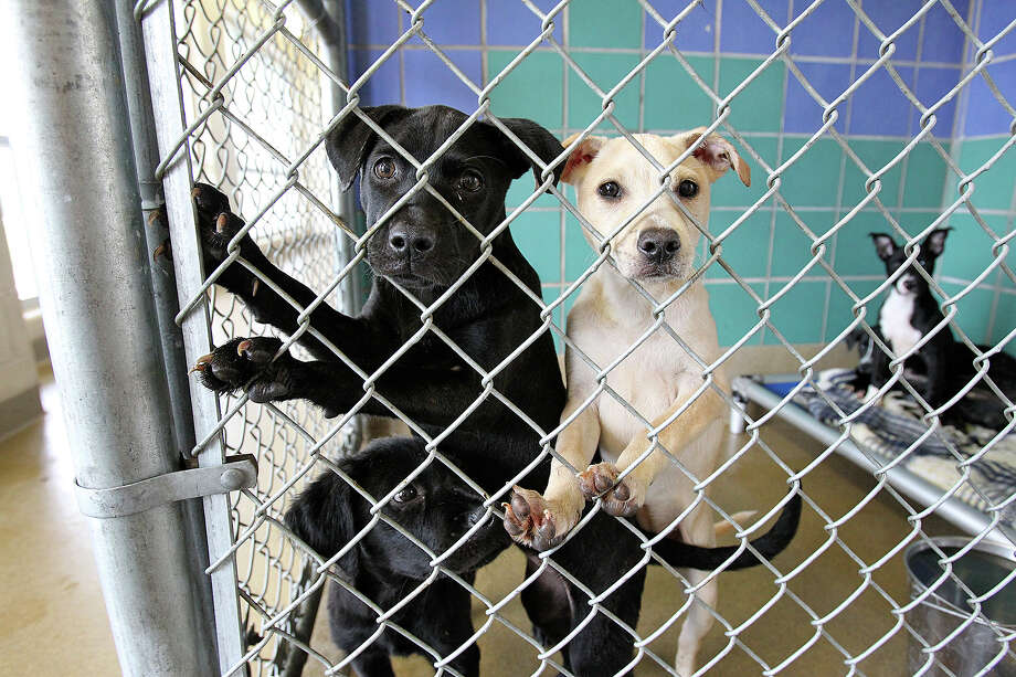 Puppies vie for attention in their stall at San Antonio Pets Alive. The organization is seeking funding because the city relies heavily on SAPA! for its history-making save rate. Photo: Express-News File Photo / San Antonio Express-News