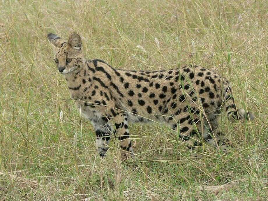 The photo shows a wild serval in Tanzania. Photo credit: http://commons.wikimedia.org/wiki/File:Serval_in_Tanzania.jpg