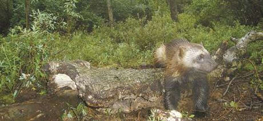 This is a September 2007 photo of the Thumb wolverine, as taken by a game camera owned by wolverine enthusiast and Deckerville High School teacher Jeff Ford. Ford said the Thumb wolverine seems to be doing very well in her Thumb-area domain, as she's finding everything she needs to live.