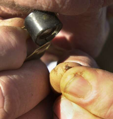 Jack Gilpin, supervisor of the Laredo division, examines a tick to see if it is the kind that carries cattle fever. Only one kind of tick carries cattle fever although various kinds of ticks are regularly found on cattle during inspections. This was not a cattle fever tick. Photo: San Antonio Express-News /File Photo / SAN ANTONIO EXPRESS-NEWS