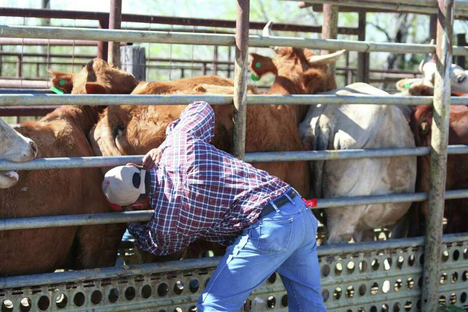 An inspector checks for cattle fever ticks at the Zapata dipping vats in Deep South Texas. Photo: /Courtesy Natural Resource