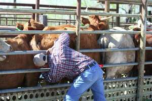 An inspector checks for cattle fever ticks at the Zapata dipping vats in Deep South Texas.