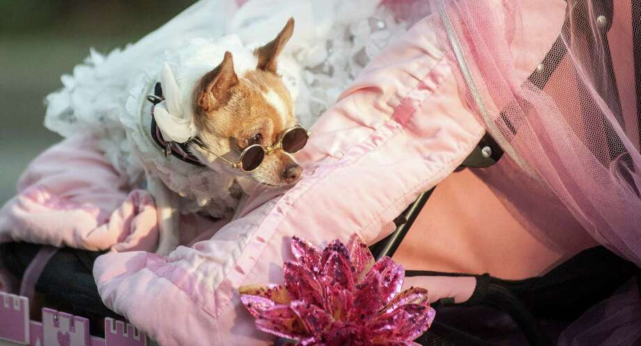 """Princes """"The Queen of Sequin""""  a Chihuahua  owned by Leroy Montoya strolls down Alamo Heights during the 2016 Fiesta Pooch Parade on Saturday, April 23, 2016.  Carlos Javier Sanchez / For The Express News Photo: Carlos Javier Sanchez / Carlos Javier Sanchez/For The Express News / Carlos Javier Sanchez"""