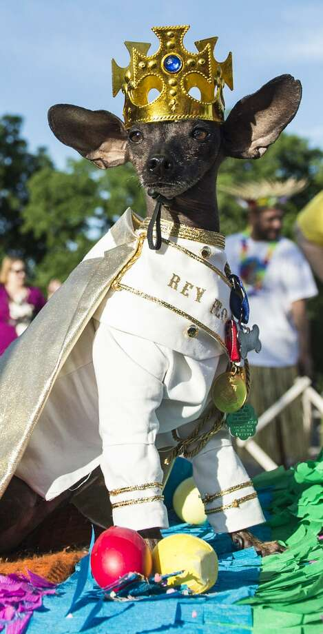 Saturday, April 21: Pups are also welcome to attend the crowning of this year's El Rey Fido, from 10 to 11 a.m. at the Sheraton Gunter Hotel, 203 E. Houston St. A fundraiser of the San Antonio Humane Society, the event crowns a Dog King and court of four runner-up dogs based on months of fundraising for the society. Dogs are encouraged to come to this event in costume. Photo: Carlos Javier Sanchez / For The Express News / Carlos Javier Sanchez