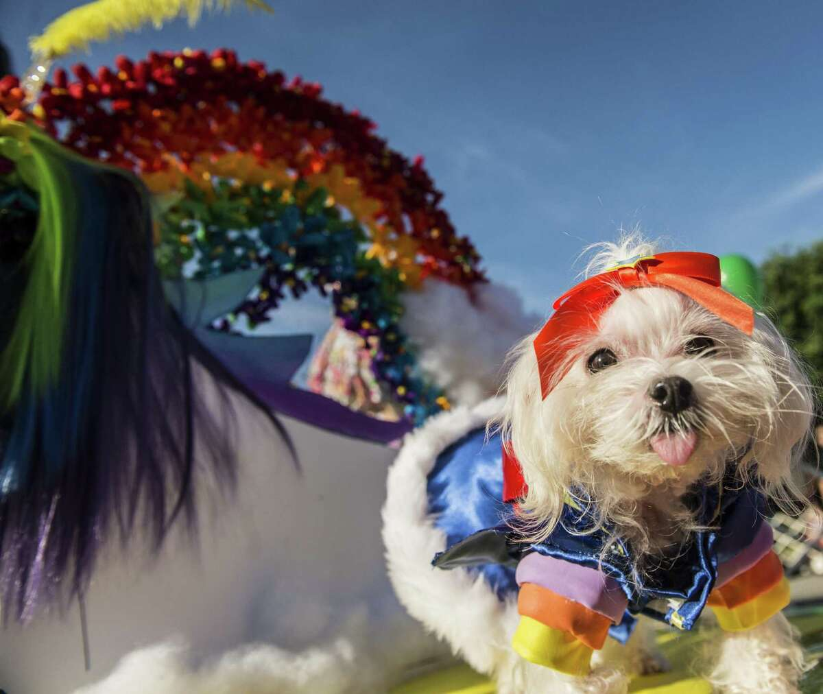 Fiesta Pooch Parade is a fundraiser for Therapy Animals of San Antonio. For more information, go to fiestasanantonio.org.