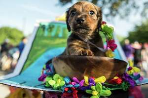 2 month old Dachshund Benjamin Barking participates in the 2016 Fiesta Pooch Parade on Saturday, April 23, 2016.  Carlos Javier Sanchez / For The Express News