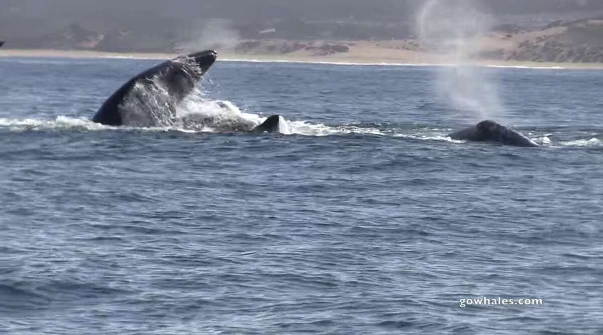 A screenshot from a Monterey Bay Whale Watch video of a killer whale attack.