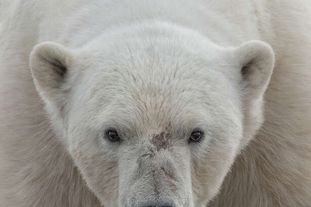 FOR ONE TIME USE ONLY ON THE STORY ABOUT THE CONTEST.    Entry from the  2016 National Geographic Travel Photographer of the Year Contest  :   Face to Face:  A polar bear on Wahlenbergfjorden off of Svalbard. I was in a zodiac off shore when he sauntered down to the beach to sniff us out. Soon losing interest, he retreated for a nap and we left him in peace.  Location: Haugen, Svalbard (Photo and caption by Ari Ross /National Geographic Travel Photographer of the Year Contest )
