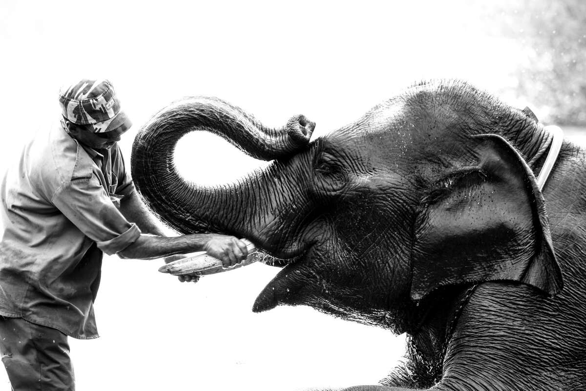 Asian Asian elephants, which have been used as a domesticated animal for thousands of years, are smaller, with smaller ears. Only some males have tusks.