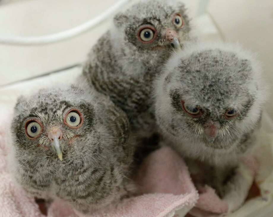 Three  wide-eyed baby screech owls were taken in by the Wildlife Center of Texas after the tree where they lived was knocked over in the storms. Photo: Melissa Phillip, Staff / © 2016 Houston Chronicle