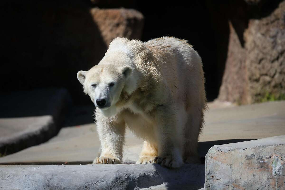 Uulu, the only polar bear at the San Francisco Zoo, had been at the zoo since 1985.