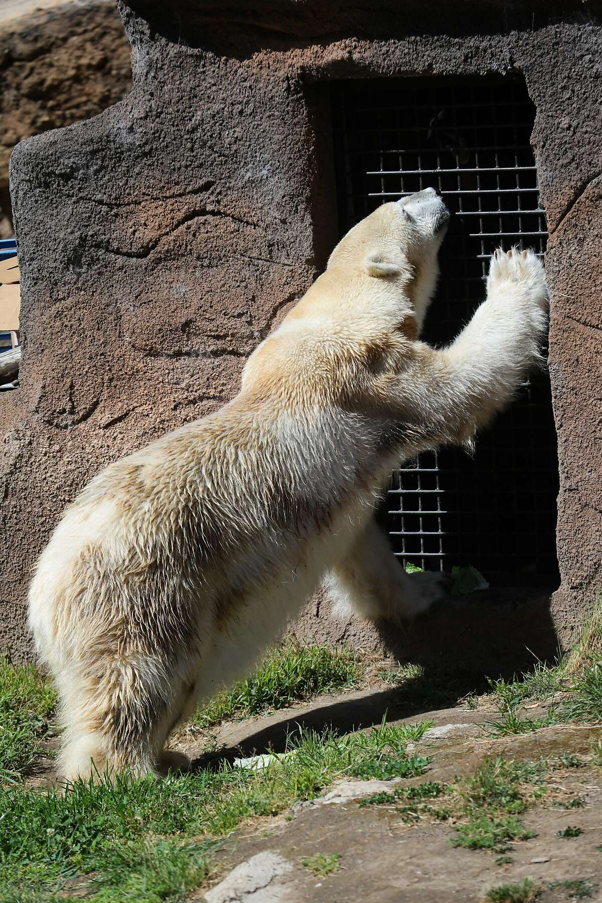 Polar Bear Uulu, one of the oldest polar bears in captivity, can be seen showing her paw to a zookeeper, in her enclosure at the San Francisco Zoo, in San Francisco, California, on Friday, April 22, 2016.