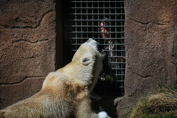 Polar Bear Uulu, one of the oldest polar bears in captivity, opens her mouth for zookeeper Sandy Huang during a daily checkup at the San Francisco Zoo, in San Francisco, California, on Friday, April 22, 2016.