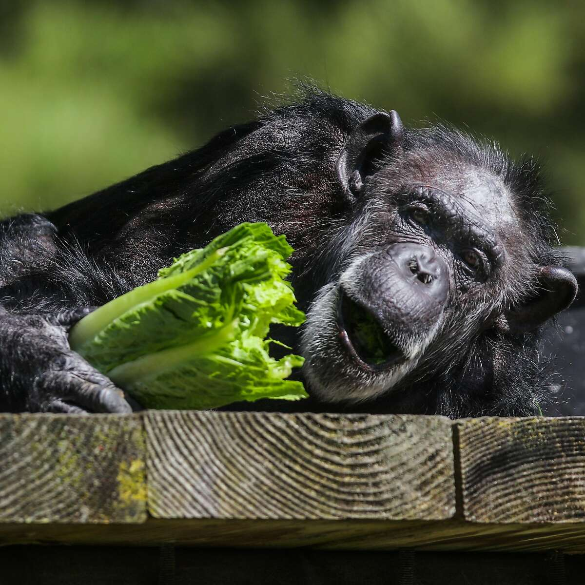 Chimpanzee Maggie snacks on salad in her enclosure at the San Francisco Zoo, in San Francisco, California, on Friday, April 22, 2016.