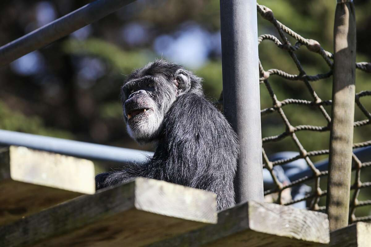 Old age was a contributing factor in Cobby the chimpanzee's death.