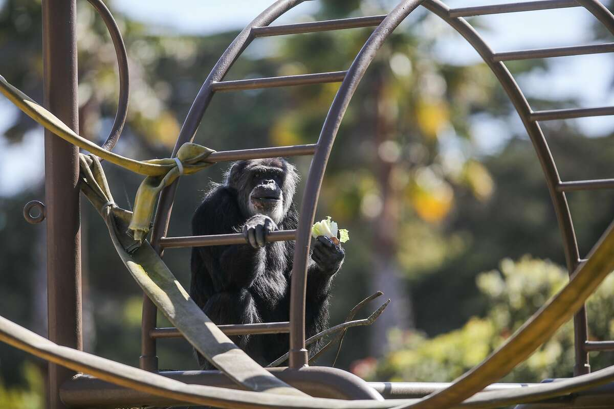 Cobby the chimpanzee died Saturday at age 63.