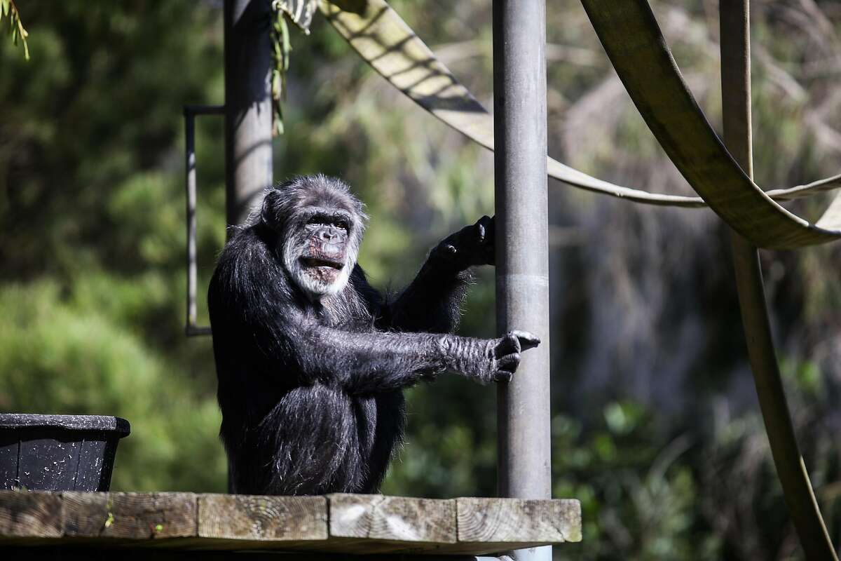 Cobby looks out from inside his enclosure at the San Francisco Zoo in 2016.