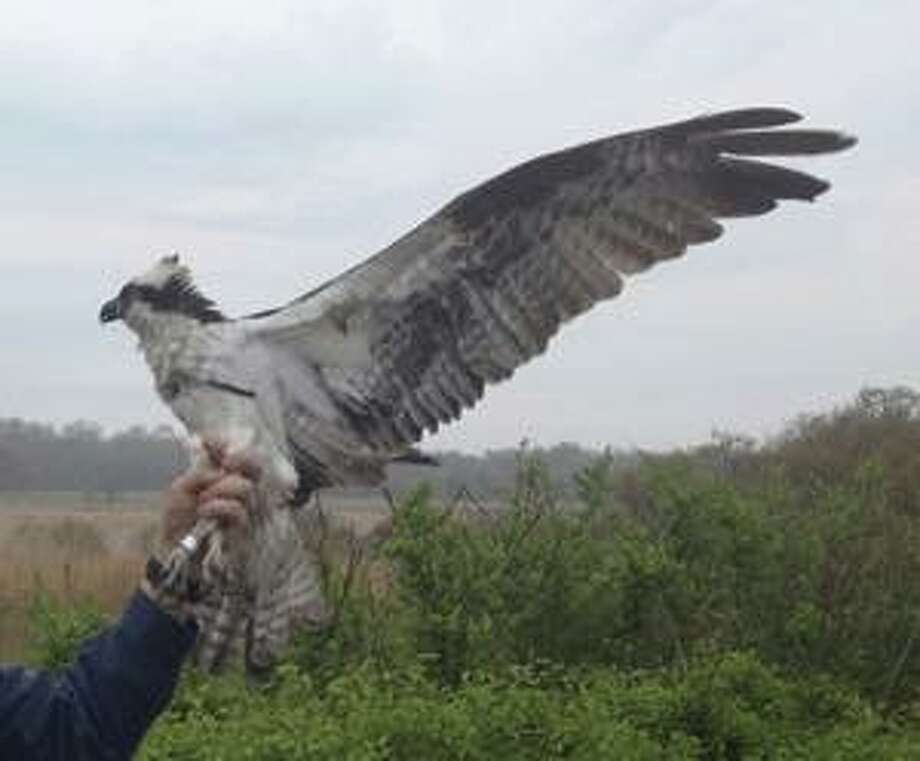 Edwin the oprey died earlier this month after returning to Connecticut from South America. Photo: Connecticut's Environmental Conservation Police