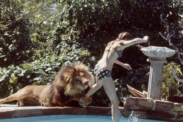 American future actress Melanie Griffith jumps into a swimming pool as her pet lion Neil grabs her leg and goes to bite her leg, Sherman Oaks, California, May 1971.
