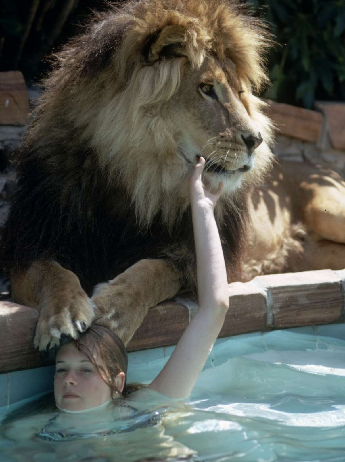 Melanie Griffith, hanging out with her pet lion Neil at her Sherman Oaks, Calif. home in May 1971.