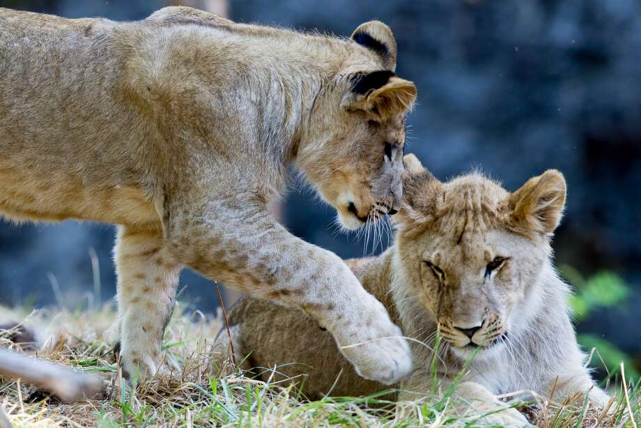 "Three young male lions, called a ""coalition,"" have just joined the Oakland Zoo. Photo: Photo By Jeremy Dwyer-Lindgren"