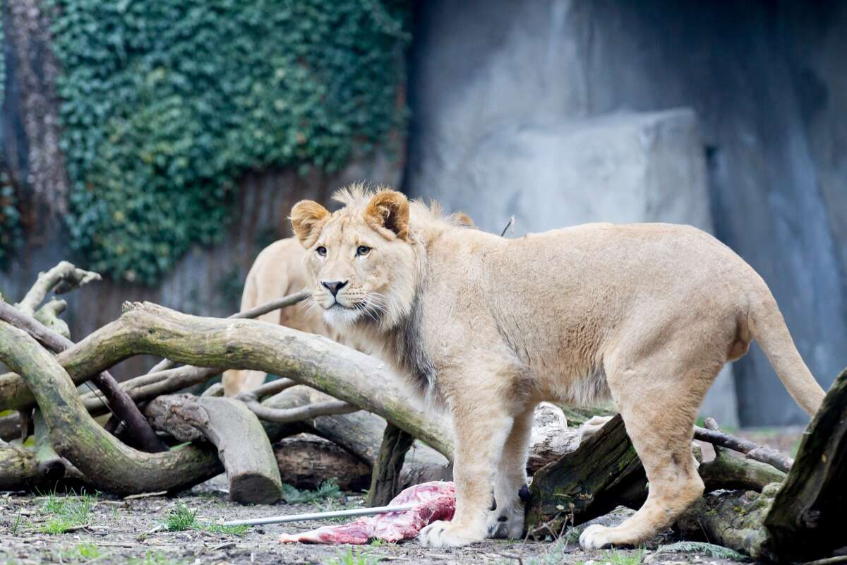 Three young male lions, called a