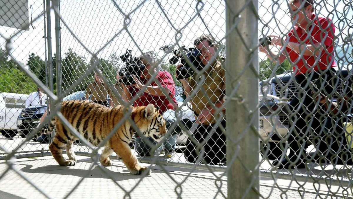 Tiger stripes Animal:Tigers Number:47 Counties:Collin (28), Bastrop (1), Henderson (3), Kaufman (6), Potter (4), Travis (5)
