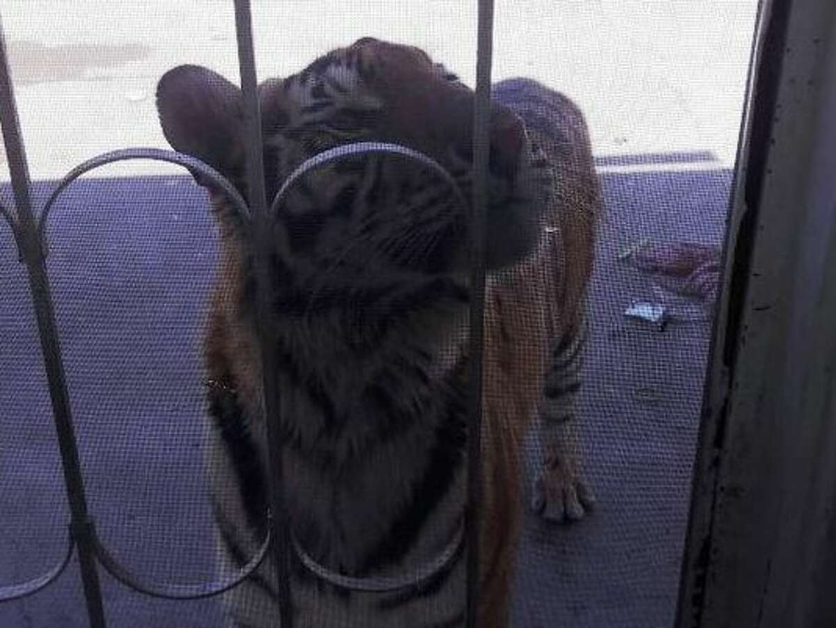 Chichuahua state police found an 18-month-old female tiger in the backyard of a Meoqui home owned by Ivan Irandi Solis Moran, 36, who was found fatally shot in a possible drug-related shooting.