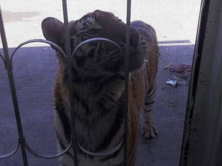 Chichuahua state police found an 18-month-old female tiger in the backyard of a Meoqui home owned by Ivan Irandi Solis Moran, 36, who was found fatally shot in a possible drug-related shooting. Photo: Fiscalía General Del Estado De Chihuahua