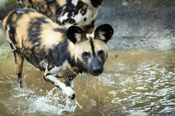 This week the Houston Zoo announced the addition of a few new residents, three female African painted dogs. The trio of dogs were introduced to the zoo's pair of elderly African painted dog. These new pups are two and three years old and have spent the past 30 days in quarantine since coming from a zoo in the United Kingdom.