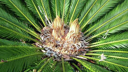 Multi-headed sago palm is unusual but not unknown. The extra heads will make an attractive silhouette.